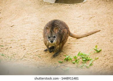 Macropus parma, commonly known as Parma wallabies and white-throated wallabies, is native to the Great Dividing Range between the Gibraltar Range and the Watagan Mountains, in Eastern Australia.