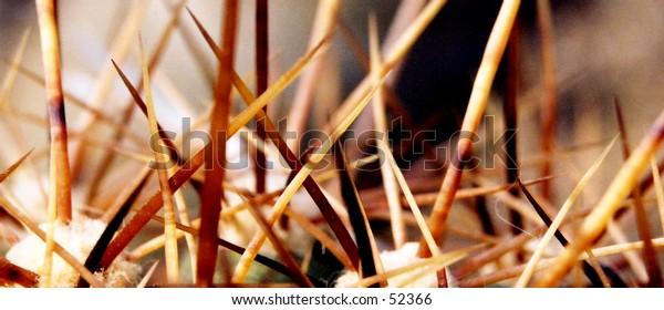 Macros shot of cactus spines