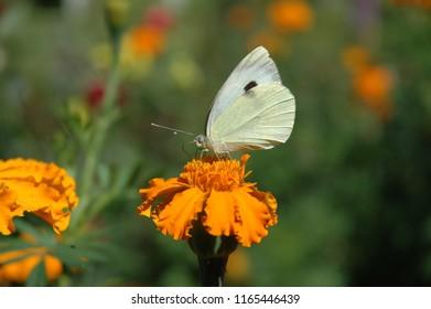 Macroshot cabbage batterfly on a orange head flower on blur green-orange background