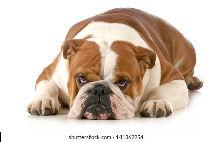 mad dog - english bulldog laying down with sour expression isolated on white background
