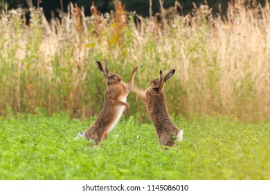Mad hares boxing in a crop field in Norfolk UK. Pair of wild animals fighting each other by punching with thier front legs