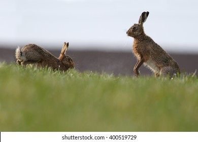 """Mad March Hares! European or Brown Hares (Lepus europaeus) """"boxing"""". Activity usually between a female and a male during courtship. On farmers dew soaked field."""
