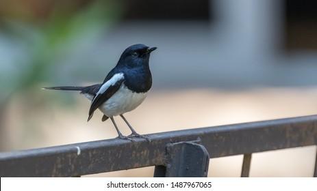 Imágenes, fotos de stock y vectores sobre Magpie Adult