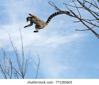 A Madagascan Ring Tailed Lemur takes a death-defying high jump between trees against a blue sky with its long striped tail trailing behind