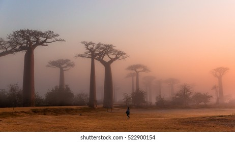 Madagascar, Africa:   a man in traditional dress walking on a foggy morning on the field towards the baobab alley (also known as Baobab avenue) in Morondava region. Photographed in September 2016