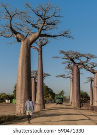 Madagascar, Africa, September 23, 2016: unknown man passing the Baobab alley with a truck in the background