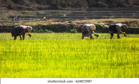Madagascar, Africa: workers on the rice fields planting rice