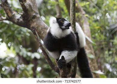 Madagascar, animals, lemur