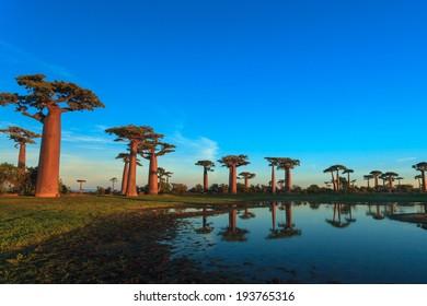 Madagascar - Baobab alley , Morondava