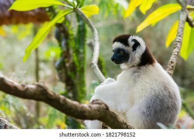 Madagascar, Berenty, Berenty Reserve. Verreaux's sifaka resting in a tree.
