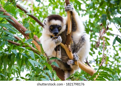 Madagascar, Berenty, Berenty Reserve. Verreaux's sifaka stripping bark off a tree and eating it.