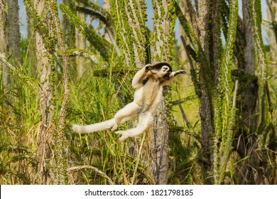 Madagascar, Berenty, Berenty Reserve. Verreaux's sifaka leaping down to the road from its perch in a tree.