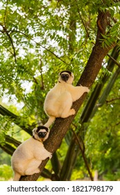 Madagascar, Berenty, Berenty Reserve. Verreaux's sifakas in a tree. a tree.