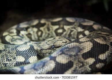A Madagascar Boa seen inside a snake cage at a zoo.
