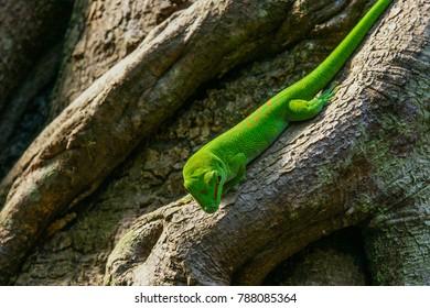 Madagascar day gecko on tree
