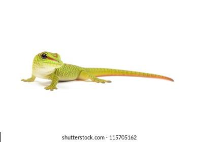 Madagascar day gecko on white background.
