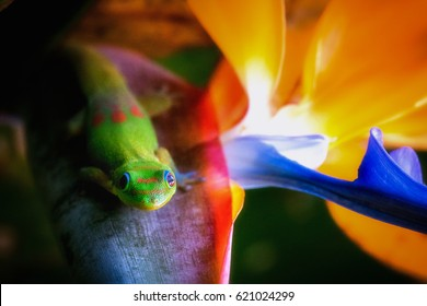 Madagascar Gold-Dusted Day Gecko hanging out in Hawaii