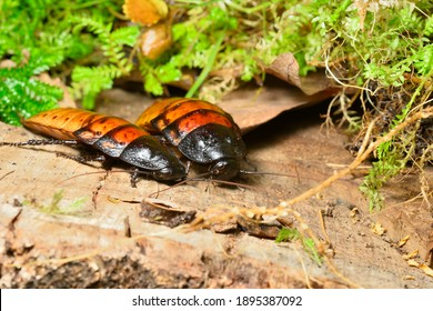 Madagascar hissing cockroach, Gromphadorhina portentosa, one of the largest species reaching 5 to 7.5 centimetres, 2 to 3 inches, at maturity.