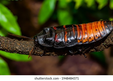 Madagascar hissing cockroach. Gromphadorhina portentosa , also known as the Madagascar giant cockroach