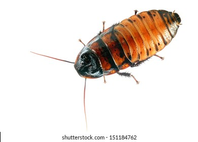 Madagascar hissing (Gromphadorhina portentosa) cockroach isolated