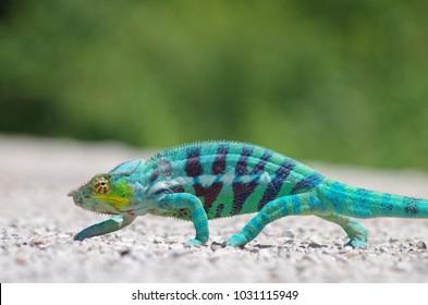 Madagascar Nosy Be Panther Chameleon