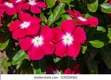 Madagascar periwinkle or Catharanthus roseus or Rose periwinkle or Rosy periwinkle bright red flower with thick green leaves planted in local garden on warm sunny day