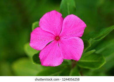 Madagascar periwinkle or Catharanthus roseus or Rose periwinkle or Rosy periwinkle single bright pink flower with darker center sprinkled with water drops from morning dew on light green leaves