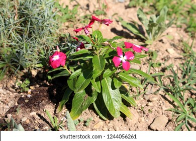 Madagascar periwinkle or Catharanthus roseus or Rose periwinkle or Rosy periwinkle plant planted in local garden with multiple dark red flowers with white center surrounded with thick green leaves