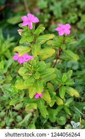 Madagascar periwinkle or Catharanthus roseus or Rose periwinkle or Rosy periwinkle plant growing in local garden with multiple bright pink flowers surrounded with light green leaves and other garden