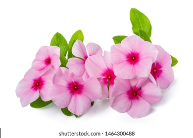 Madagascar periwinkle flowers isolated on white background