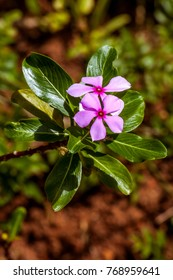 Madagascar periwinkle (Pervenche de Madagascar, Catharanthus roseus). The active ingredients of the plant extracts are antimitotic, to produce medicine against cancer.