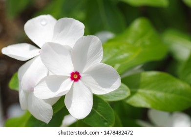 Madagascar periwinkle, Rosy periwinkle, Catharanthus roseus