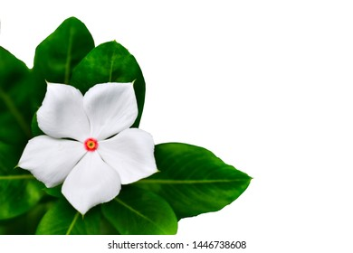 Madagascar periwinkle; Vinca; Periwinkle (Catharanthus roseus (L.) G. Don) isolated on a white background