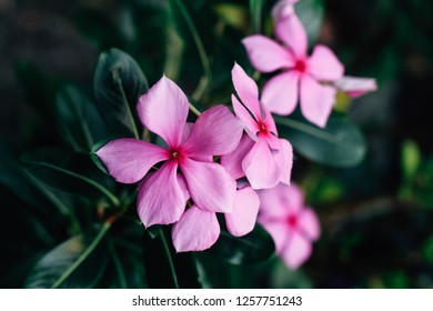 Madagascar periwinkle or Vinca or Old maid or Cayenne jasmine or Rose periwinkle, pink and white flower