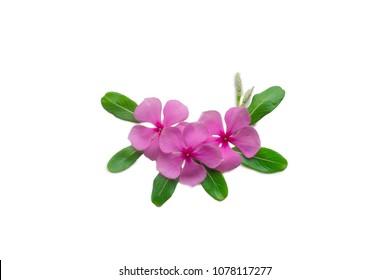 Madagascar periwinkle, Vinca,Old maid, Cayenne jasmine, Rose periwinkle. pink flower on white background