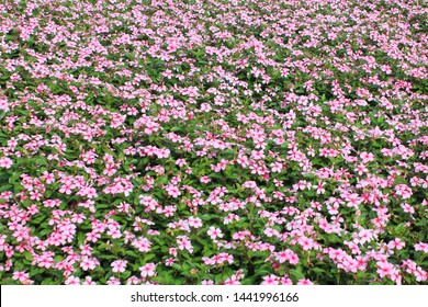 Madagascar periwinkle, Vinca,Rose periwinkle flower field close up pattern in vivid pink color with green leaf background, spring flower blooming on summer season, outdoor plant with natural light.