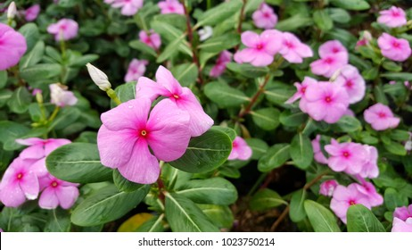 Madagascar periwinkle,Rose periwinkle,vinca in the garden.water drop on vinca petal,nature background. foliage variety of colors in garden
