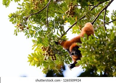Madagascar Red ruffed lemur feeding on top of tree in natural habitat, Varecia rubra, Madagascar wildlife