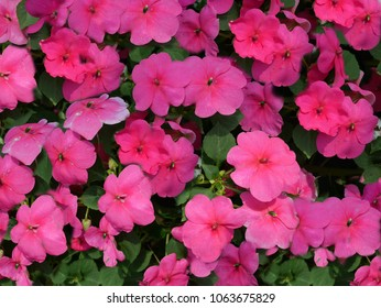 Madagascar rosy periwinkle  It is a flower with many colors such as white, pink, red. It is a deciduous shrub or a tall plant about 1 m tall, oval to oblong. Green, it has no hairs, medium lines