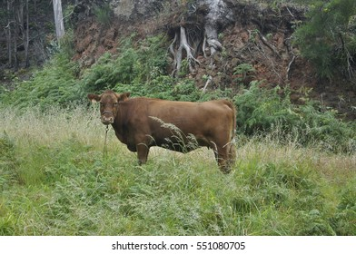 Madeira, cow of the forrest