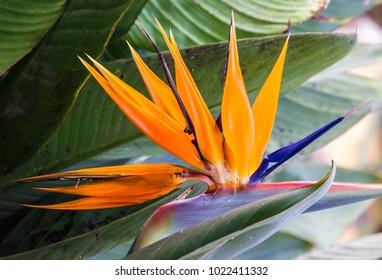 Madeira island tropical flower