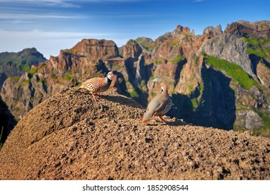 Madeira wildlife. Two Red-legged partridges, Alectoris rufa. Close up, wild birds standing on the orange boulder rock against steep mountains and blue sky. Pico do Arieiro area. Madeira island.