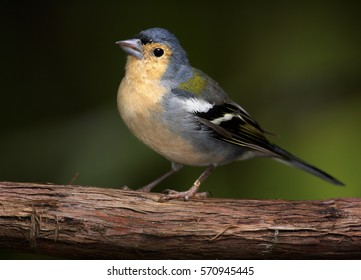Madeiran chaffinch, Fringilla coelebs maderensis, close up, male, isolated small passerine perched on branch against dark background. Bird endemic to the Portuguese island of Madeira.