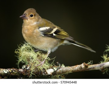 Madeiran chaffinch, Fringilla coelebs maderensis, close up, female, isolated small passerine perched on mossy twig against dark background. Bird endemic to the Portuguese island of Madeira.