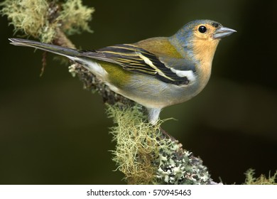 Madeiran chaffinch, Fringilla coelebs maderensis, close up, colorful male, isolated small passerine perched on mossy twig against dark background. Bird endemic to the Portuguese island of Madeira.