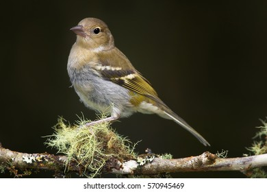 Madeiran chaffinch, Fringilla coelebs maderensis, close up, female isolated small passerine perched on mossy twig against dark background. Bird endemic to the Portuguese island of Madeira.