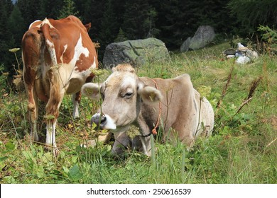 MADESIMO, ITALY - AUG 18 2014: A brown and a white cow in the high grass in Motta, near Madesimo