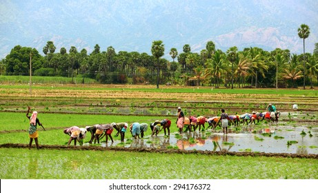MADHURAI, INDIA - APRIL 31: A group of lady farmers rice planting on their field  on april 31, 2015 in Madhurai , Tamil Nadu, India.