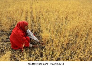 Madhya Pradesh,India,February,15,2010: Rural woman worker in traditional costume harvesting the ripe wheat crop using hands and sickle,Madhya Pradesh, India,Asia
