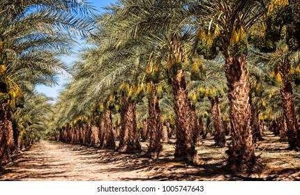Madjool Date Palms in Mecca, CA